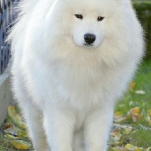 Teresa Heaver From Kabeara Kennels Only Breeds Samoyeds With Nothing but Love