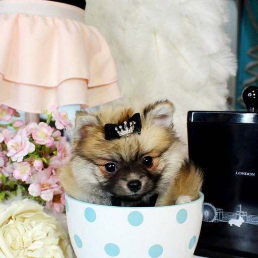 Puppy Boutique Store Features the Best Variety of Teacup and Toy Puppies Available
