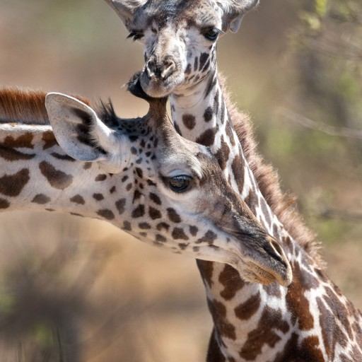 Toys'R'Us® and African Wildlife Foundation Join Forces to Promote Conservation Education in Celebration of World Giraffe Day