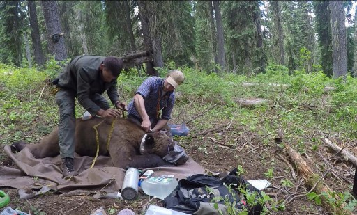 Grizzly Collared Near Vital Ground Project in Washington