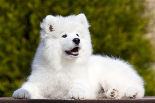 Teresa Heaver of Kabeara Kennels Providing Essential Care to the Samoyed Breed