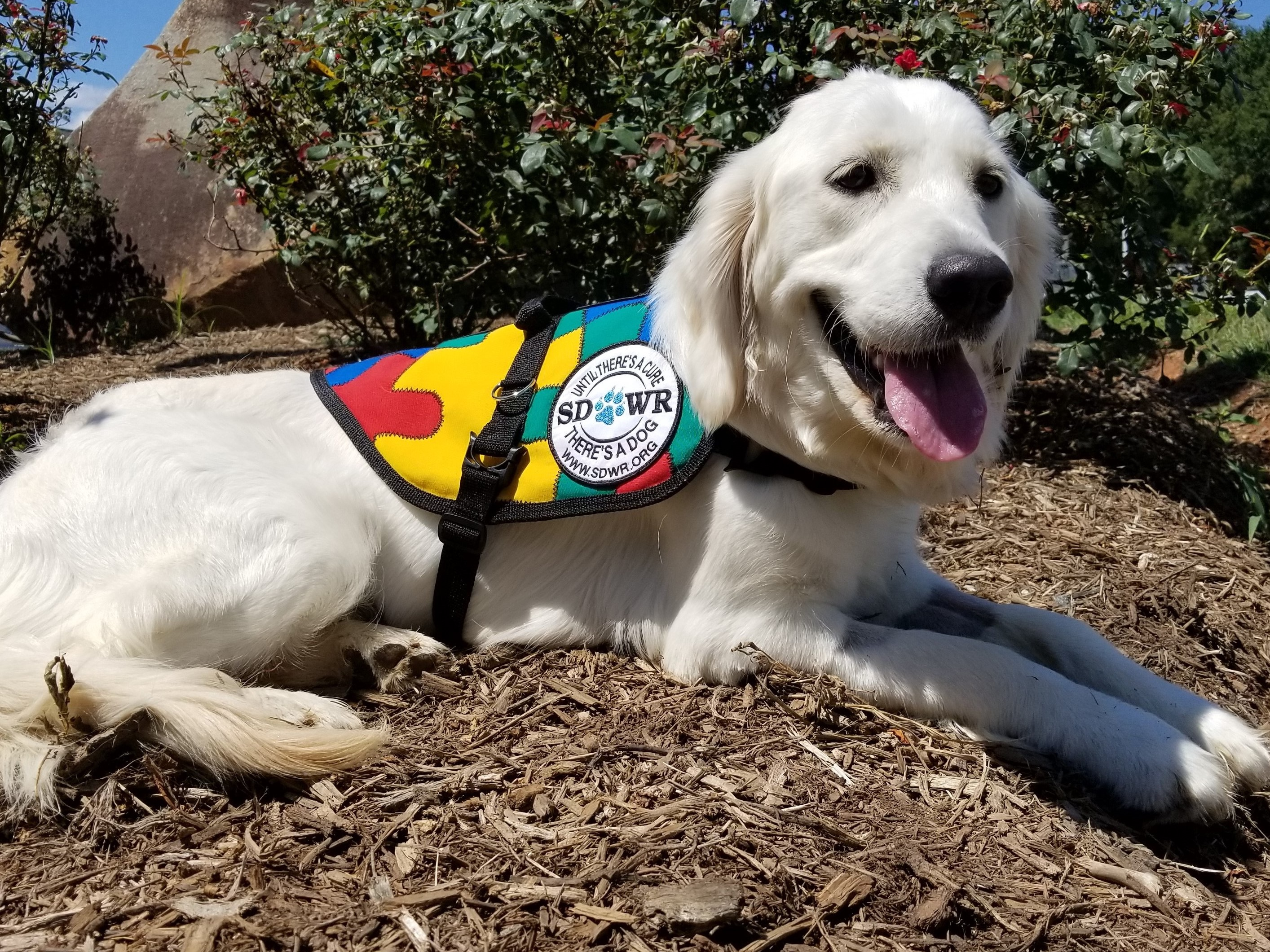 Diabetic Alert Dogs by SDWR Service Dogs by Warren Retrievers