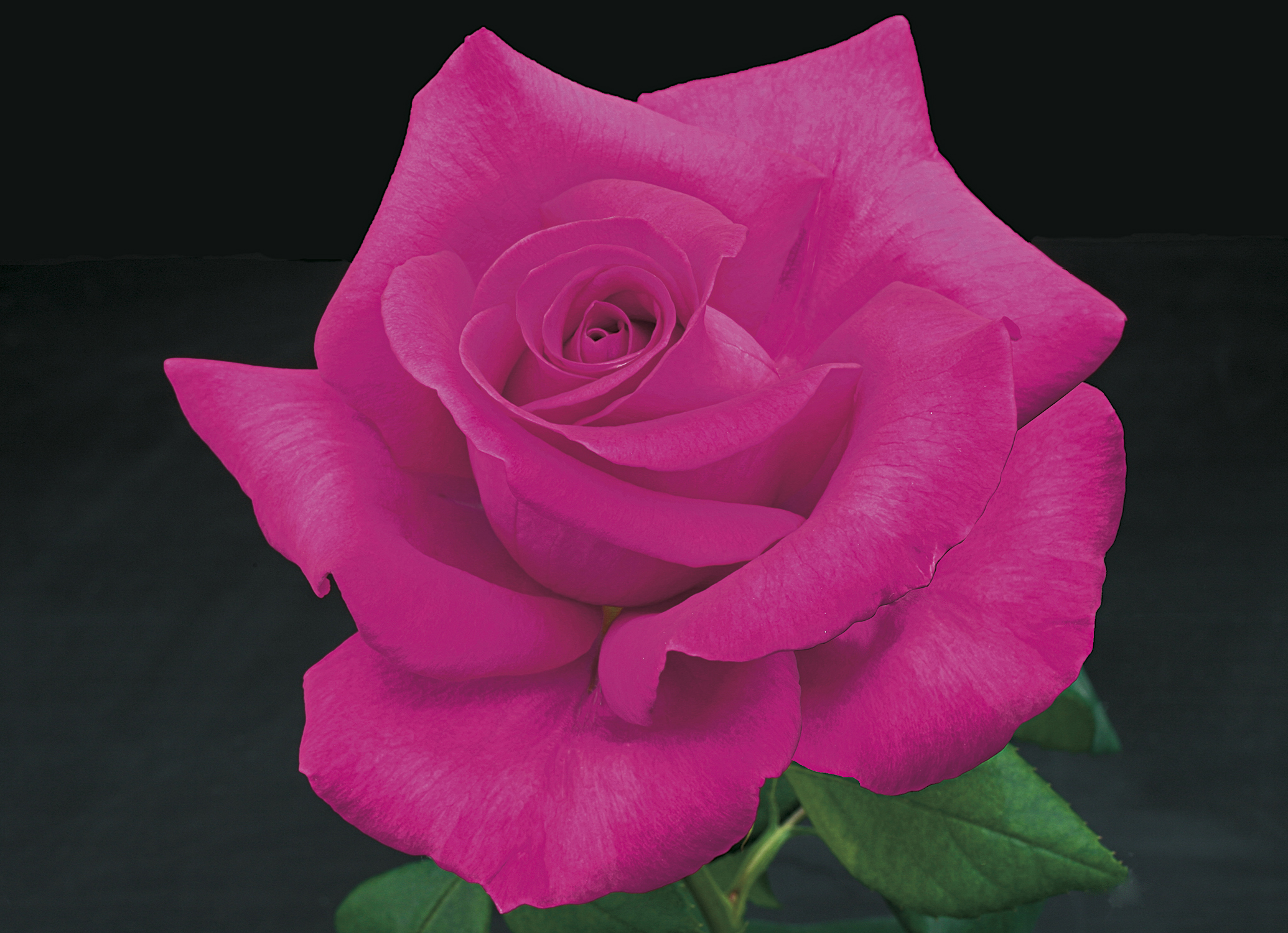 Weeks roses introduces seven new rose varieties for spring 2017 newswire - Rose cultivars garden ...