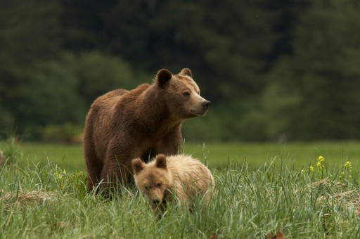 Long-Term Vision: Connecting Vital Ground for Grizzlies