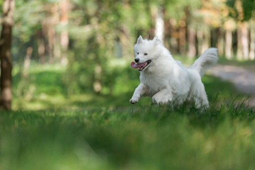 Teresa Heaver Breeds Samoyeds With Nothing but Passion and Expertise