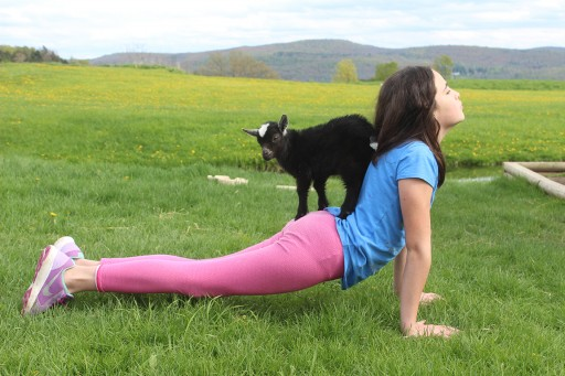 Goat Yoga Finally Comes to New York